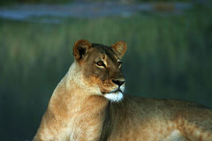 Huge Kalahari Lioness Stock Photo