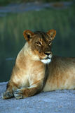 Huge Kalahari Lioness Royalty Free Stock Photo
