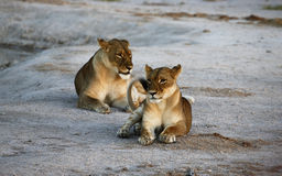 Huge Kalahari Lions Royalty Free Stock Photography