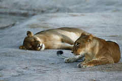 Huge Kalahari Lions Stock Images