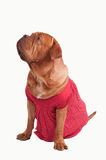 Huge lady dog dressed with red dress. Dogue de bordeaux dressed with red romantic dress of polka-dot design looking up isolated on white background Stock Photography