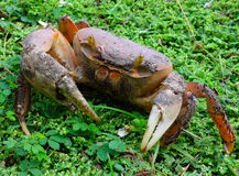 A huge land crab at spring on bequia Royalty Free Stock Photo