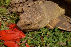 Huge land tortoise or turtle eats the red petals a flower Stock Image