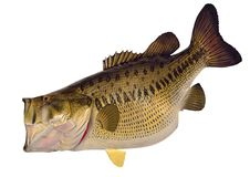 Huge Largemouth Bass Isolated Royalty Free Stock Photography