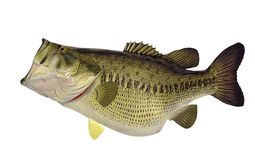 Huge Largemouth bass (Micropterus salmoides). A huge sixteen pound largemouth bass isolated on a white background stock image