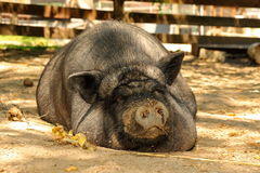 Huge lazy pig at the farm Royalty Free Stock Images