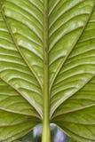 Huge leaf - Ecuador Royalty Free Stock Image
