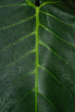 Huge leaf of a jungle plant Stock Image
