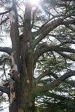 A huge Lebanon cedar