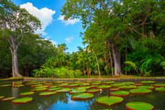 Huge lily pads. Huge green lily pads Victoria Amazonian in a pond in a tropical park Royalty Free Stock Images