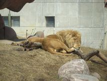 Huge lion having a nap at Toronto zoo stock images