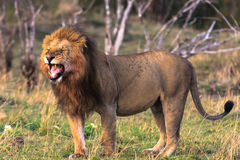 A huge lion in the savannah. Masai Mara. Africa Stock Images