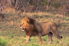 A huge lion in the savannah. The owner of the savannah. Kenya Royalty Free Stock Image