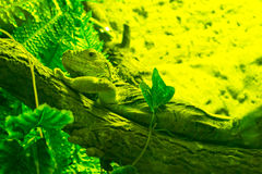 Huge. Lizard crawling on a tree trunk Royalty Free Stock Images