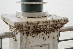 A huge load of crickets (acheta domesticus). Swarming the seafront pillar in Guayaquil, Ecuador royalty free stock images