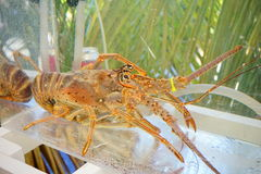 Huge Lobster in tank Royalty Free Stock Photography