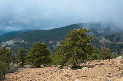 Huge lonely old pine on the trail high in Troodos Mountains. Stock Photography