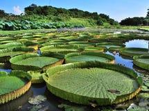 Huge Lotus leaf royalty free stock photos