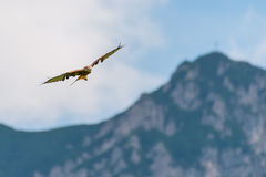 Huge majestic red kite bird flying high over mountains Royalty Free Stock Photos