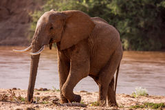 Huge male African elephant drinking water at a waterhole. Stock Photo