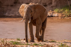 Huge male African elephant drinking water at a waterhole. Royalty Free Stock Images