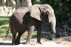 Male african elephant Royalty Free Stock Photos