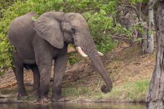Huge Male African Elephant. At water Stock Photos