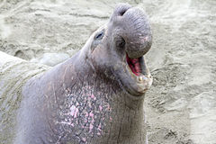 Seal. Huge Male Elephant Seal Roaring His Dominance Stock Images