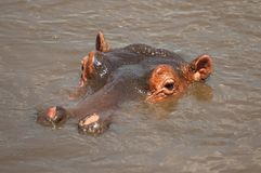 Huge male hippo Hippopotamus amphibius in a pool in Serengeti National Park, Tanzania. royalty free stock photo
