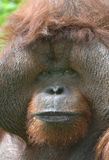 Huge male orangutan monkey,borneo, asia orange Stock Photo