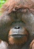 Huge male orangutan monkey,borneo, asia orange Stock Photo