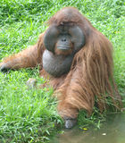 Huge male orangutan monkey,borneo, asia orange Royalty Free Stock Photography