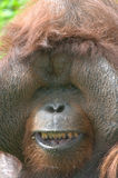 Huge male orangutan monkey,borneo, asia orange Royalty Free Stock Images