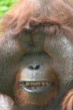 Huge male orangutan monkey,borneo, asia orange Royalty Free Stock Images