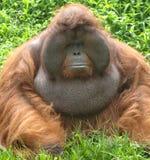 Huge male orangutan monkey, borneo, asia orange Royalty Free Stock Photos