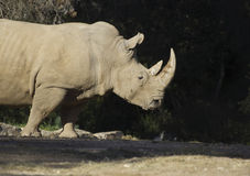 Huge male rhino Royalty Free Stock Image