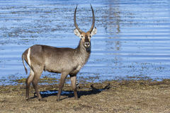 Huge male waterbuck standing on the shore of lake. Huge male waterbuck standing on the shore of a lake Royalty Free Stock Images