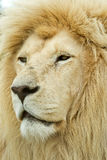 Huge male white lion. Awesome large male white lion profile on a hot day in africa Royalty Free Stock Photography