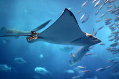 Huge manta ray flying into a swarm of other fish. A huge manta ray flying into a swarm of other fish underwater in Okinawa, Japan Stock Photo