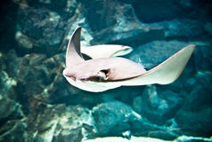 Huge manta ray flying underwater Royalty Free Stock Photos
