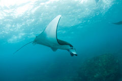 Huge manta ray swimming in the ocean Royalty Free Stock Image