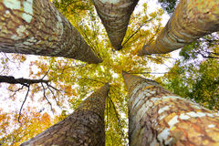 Huge maple trees Royalty Free Stock Images