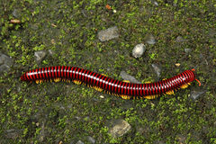 Huge Millipede on the Ground Stock Image