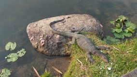 Huge monitor lizard basking Stock Photo