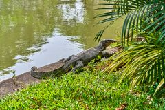 Huge monitor lizard. Near the lake outdoor royalty free stock photography