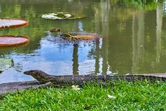 Huge monitor lizard. Near the river outdoor stock photography