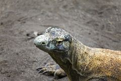 Huge monitor lizard -varan- Royalty Free Stock Photography