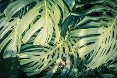 Huge monstera leaves, close up shot. Beautiful green tropical leaves Monstera in the sunshine Stock Photography
