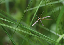 Huge mosquito. A huge mosquito was hiding in the tall grass Royalty Free Stock Photography