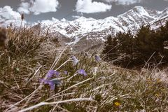 LANDSCAPE OF GREY MOUNTAINS IN SNOW WITH TINY PURPLE FLOWERS IN THE FRONT royalty free stock image
